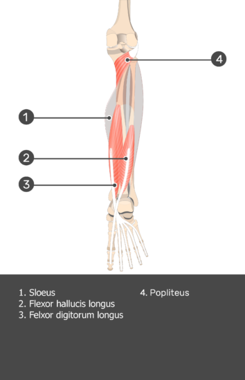 Soleus Muscle - Test yourself 12