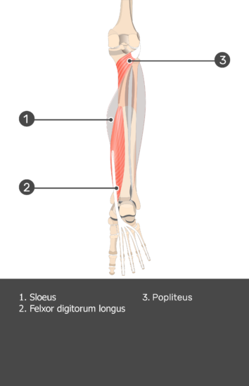 Soleus Muscle - Test yourself 13
