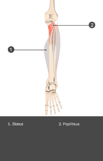 Soleus Muscle - Test yourself 14