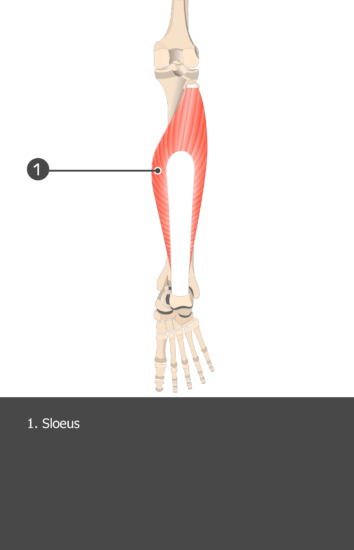 Soleus Muscle - Test yourself 15