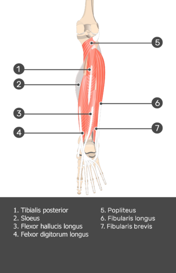 Soleus Muscle - Test yourself 9