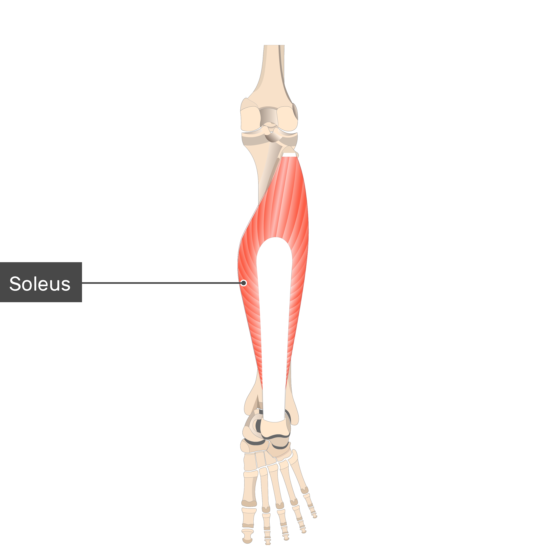 Soleus Muscle attached to the lower limb alone