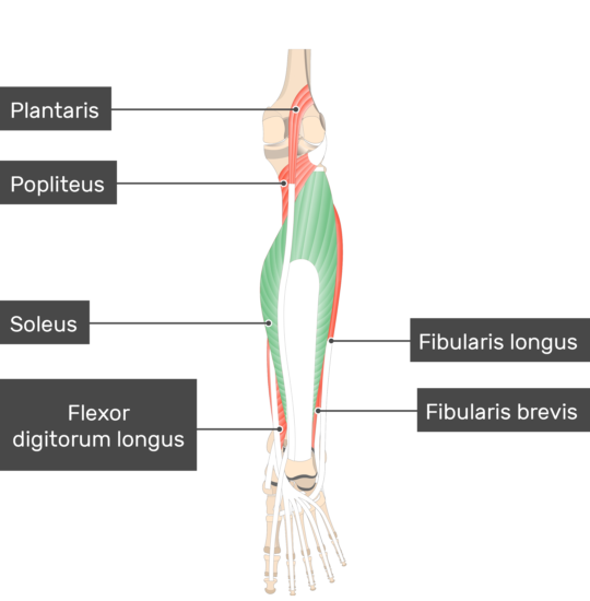 Soleus Muscle attached to the lower limb with other muscles