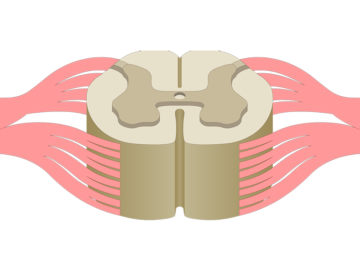 An image a spinal cord segment