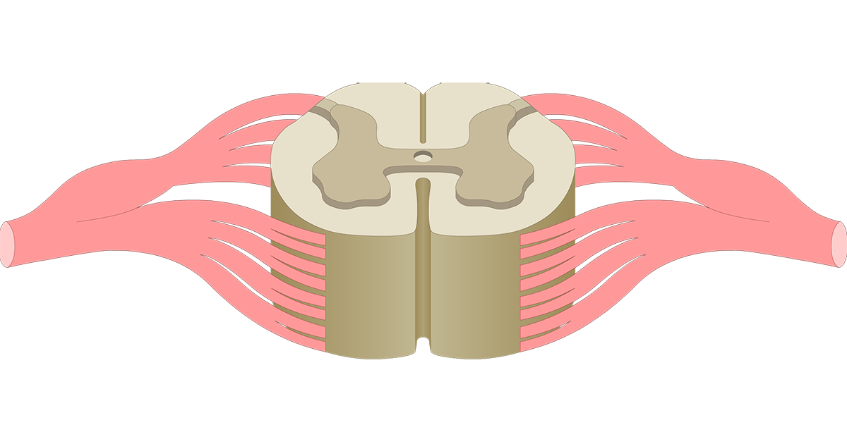 Spinal Cord Gray Matter Anatomy
