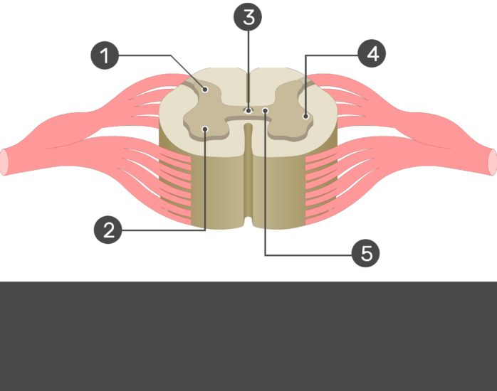 An image showing the 1. Dorsal horn 2. Ventral horn 3. Central canal 4. Lateral horn 5. Gray commissure without answers,, gray matter of a spinal cord segment