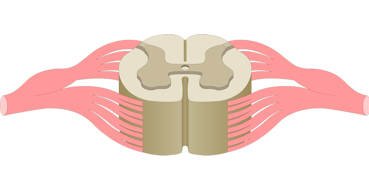 Spinal cord cross section anatomy