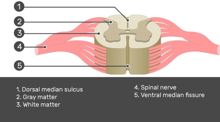 Image showing the parts of the spinal cord segment with answers, Dorsal median sulcus, Gray and White matters, Spinal nerve and Ventral median fissure