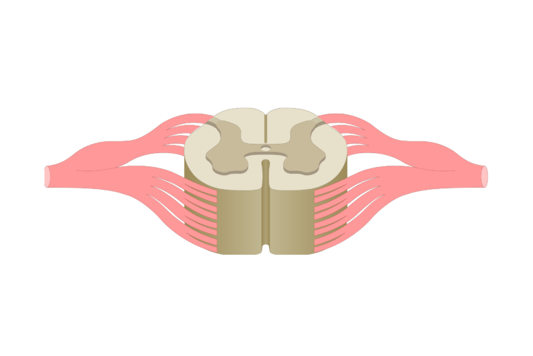 An image showing the white matter inside the spinal cord segment