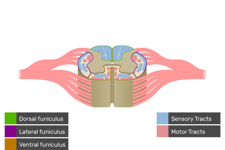 An image showing the Motor Tracts, Sensory Tracts, Ventral funiculus, Lateral funiculus and Dorsal funiculus inside the spinal cord segment with labeles and answers below
