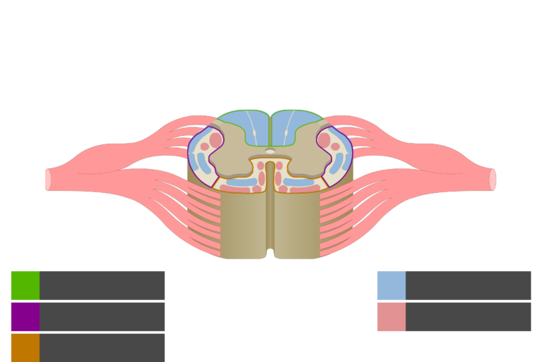 An image showing the Motor Tracts, Sensory Tracts, Ventral funiculus, Lateral funiculus and Dorsal funiculus inside the spinal cord segment without answers