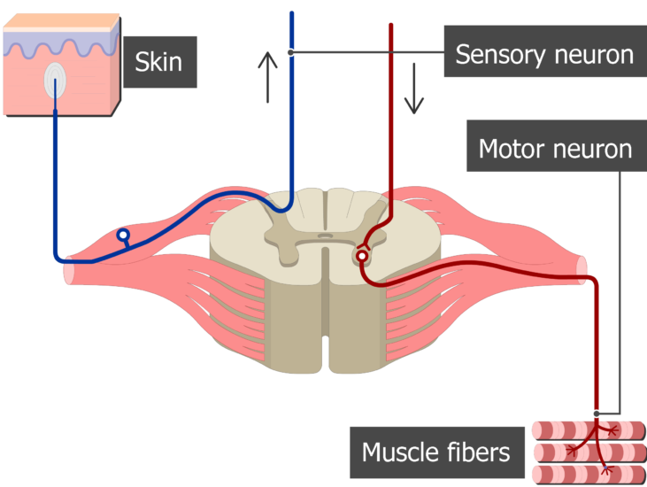 Spinal cord segment cross-sectional image showing the sensory and motor nerves