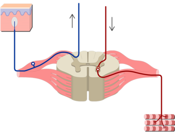 Spinal cord segment cross-sectional image showing without labels