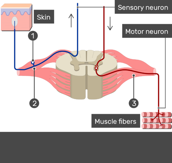 Image showing a spinal cord segment connected to the muscles with motor neuron and to the skin with sensory neuron without answers