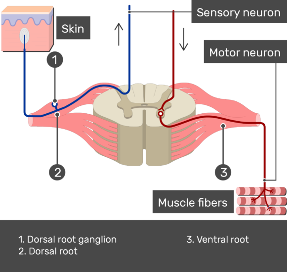 Image showing a spinal cord segment connected to the muscles with motor neuron and to the skin with sensory neuron with labels for (1. Dorsal root ganglion, 2. Dorsal root, 3. Ventral root)