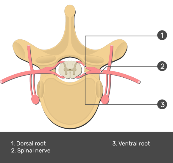 Image showing the spinal nerve out from the thoracic vertebra (Lateral view) with answers (1.Dorsal root, 2.Spinal nerve, 3.Ventral root)