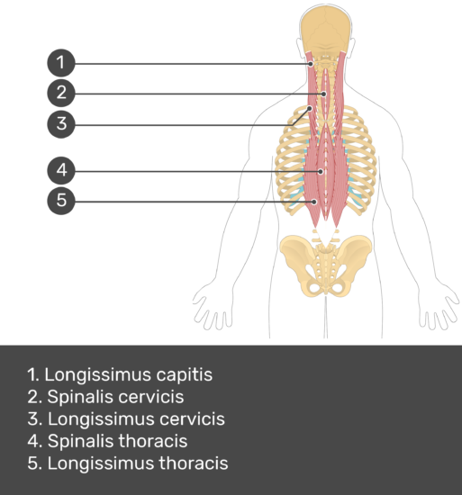 Test yourself image showing answers: Longissimus capitis, spinalis cervicis, longissimus cervicis, spinalis thoracis, longissimus thoracis