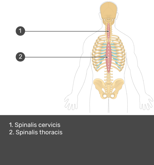 Test yourself image showing answers: Spinalis cervicis, spinalis thoracis