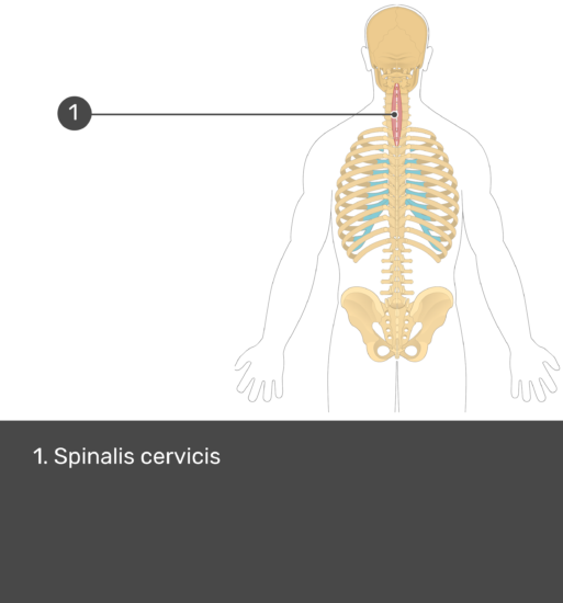 Test yourself image showing answers: Spinalis cervicis