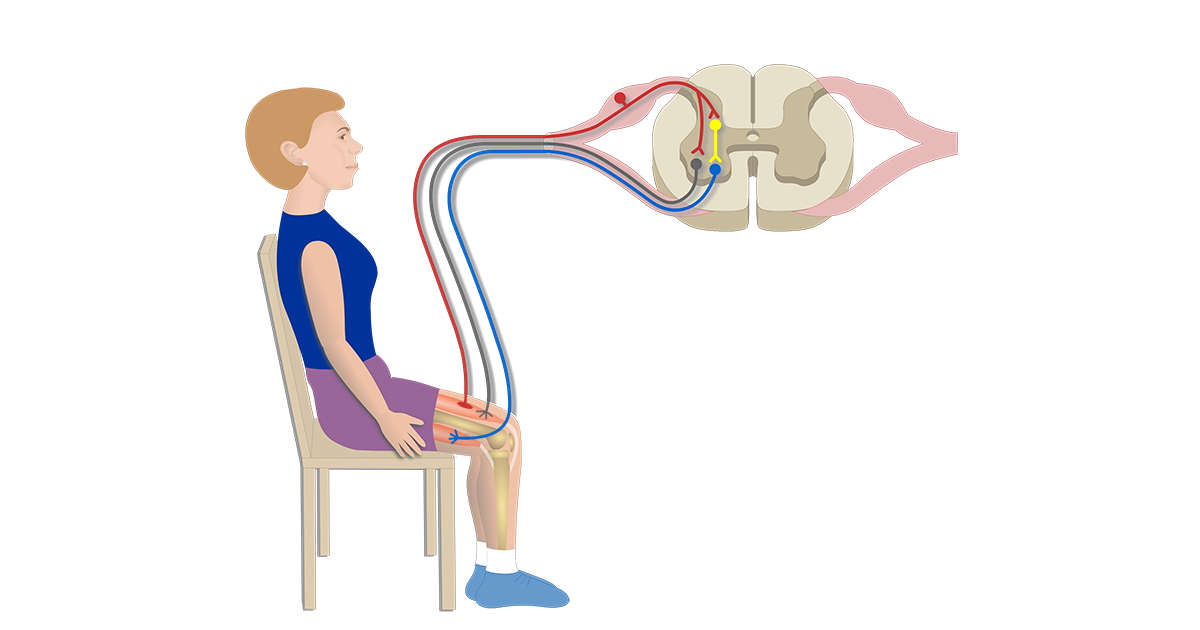 Stretch Reflex (Myotatic Reflex)
