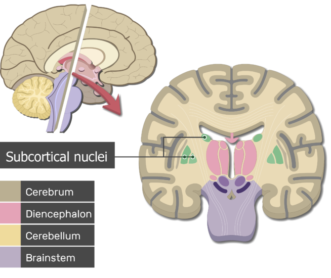 Sagittal and coronal planes of the cerebrum showing the subcortical nuclei and the brain parts (Cerebrum, Diencephalon, Cerebellum and Brainstem)