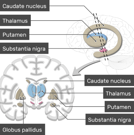 An image showing the Basal Nuclei (Substantia nigra, Globus pallidus, Putamen, Caudate nucleus, and Thalamus) are labeled, lateral view and coronal section of the brain