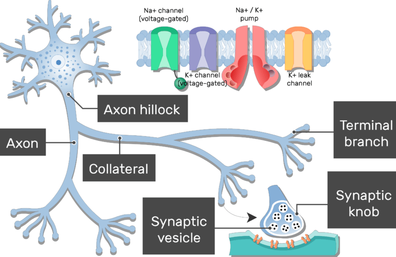 An image of neuron showing the Synaptic vesicle and Synaptic knob of the Terminal branch in addition to the Collateral branch, proteins of the axon membrane, Axon hillock and axon, all are labeled
