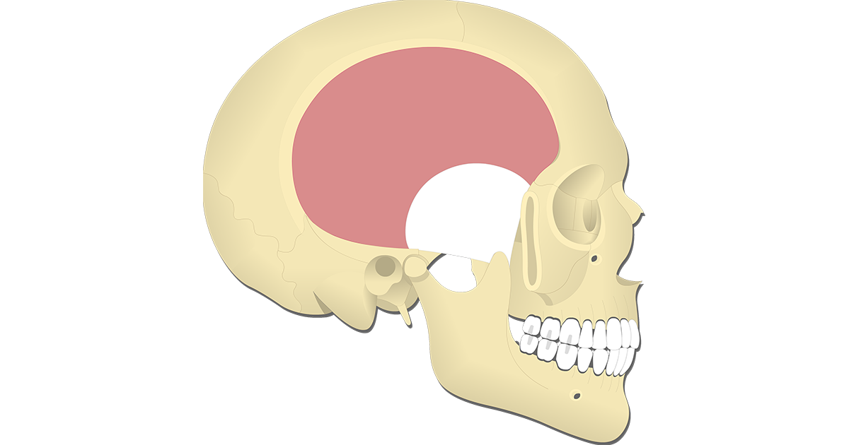 Temporalis Muscle - Featured
