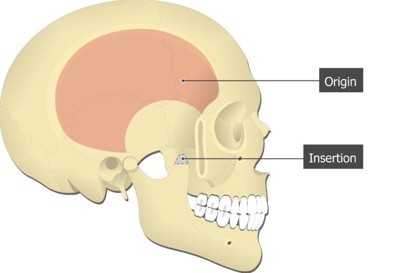 Temporalis Muscle - Origin and Insertion