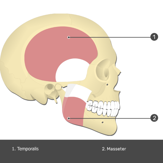Temporalis Muscle - Test yourself 1