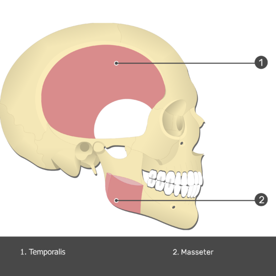 Temporalis Muscle - Test yourself 2