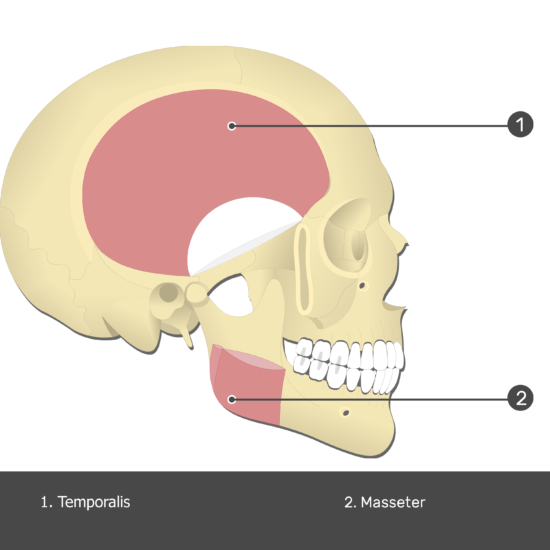 Temporalis Muscle - Test yourself 3