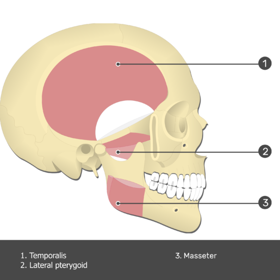 Temporalis Muscle - Test yourself 4