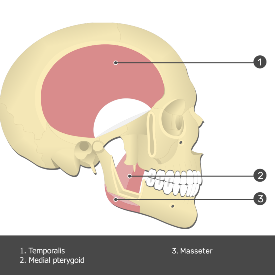 Temporalis Muscle - Test yourself 6
