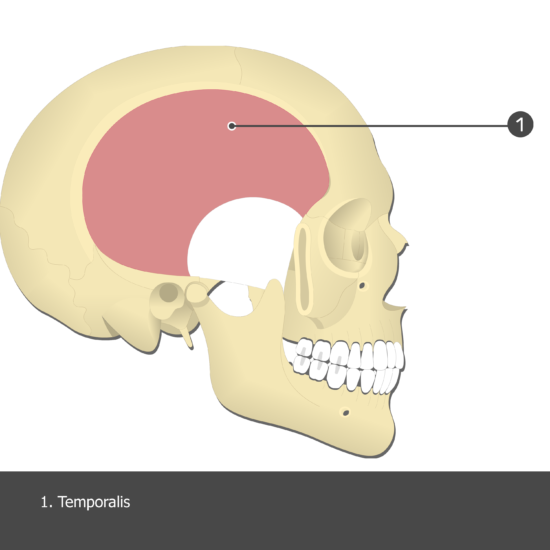 Temporalis Muscle - Test yourself 7