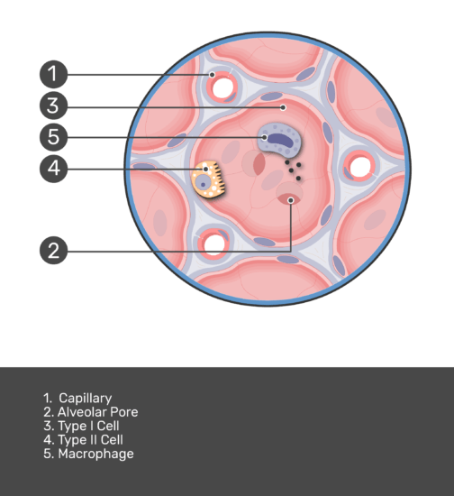 Test yourself on lung alveolus with answers shown