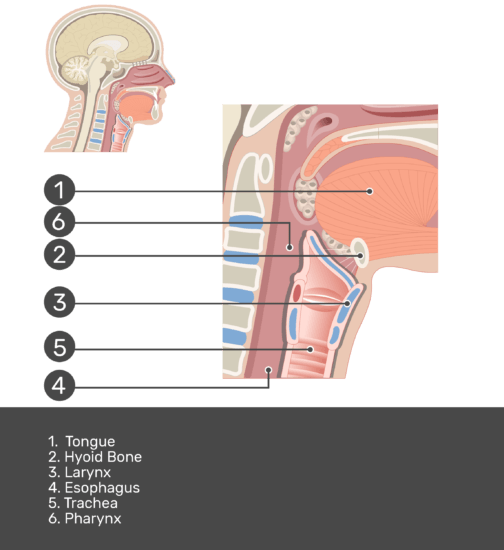 Test yourself with answers shown (larynx, trachea,esophagus, tongue, larynx, trachea, hyoid bone)