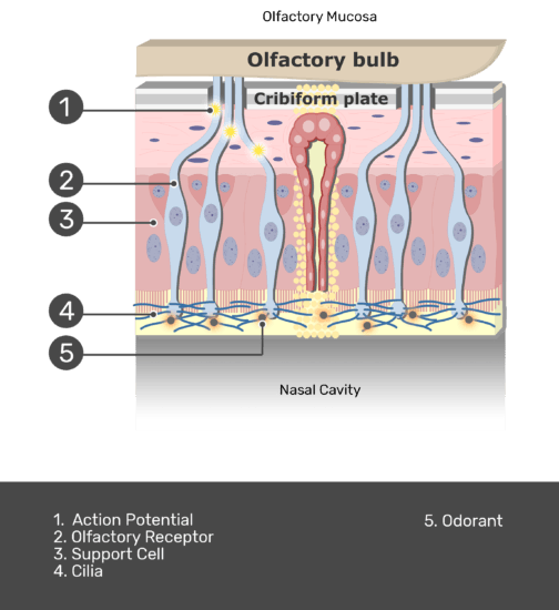 A zoom-in view of the mucosa with answers shown