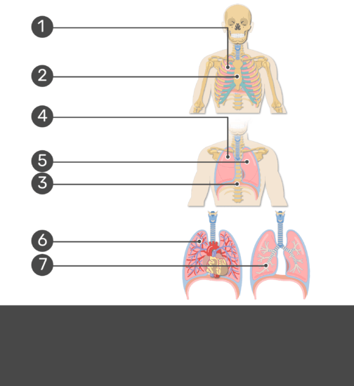 Test yourself on lung anatomy with answers hidden