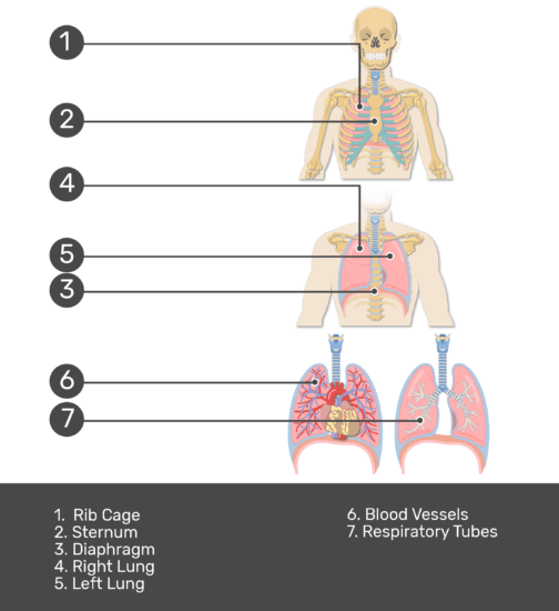 Test yourself on lung anatomy with answers shown