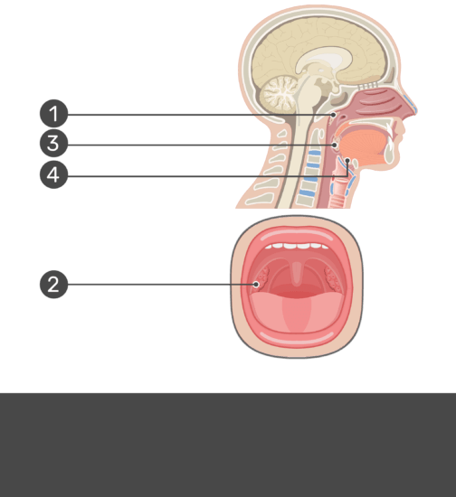Sagittal and oral view hidden answers