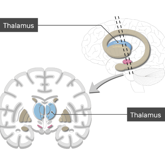 An image showing the Basal Nuclei (Thalamus) is labeled, lateral view and coronal section of the brain