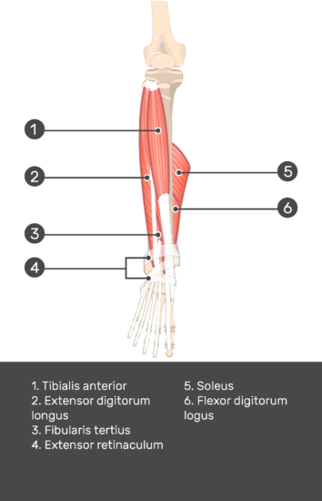 Tibialis Anterior Muscle - Test yourself 10