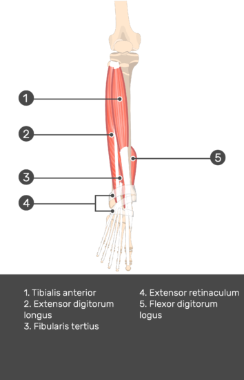Tibialis Anterior Muscle - Test yourself 11