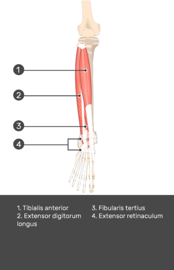 Tibialis Anterior Muscle - Test yourself 12