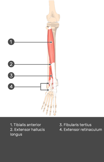 Tibialis Anterior Muscle - Test yourself 13
