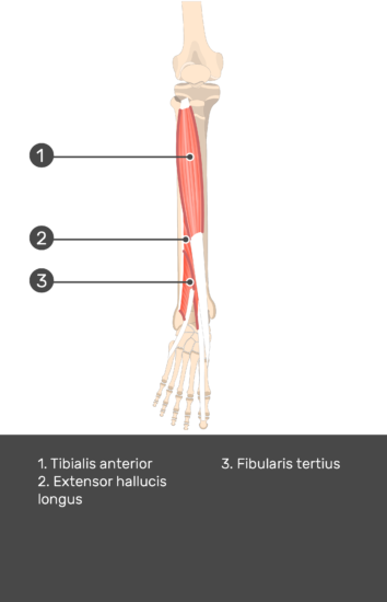 Tibialis Anterior Muscle - Test yourself 14