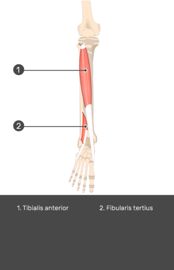 Tibialis Anterior Muscle - Test yourself 15