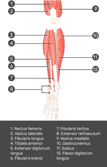 Tibialis Anterior Muscle - Test yourself 3