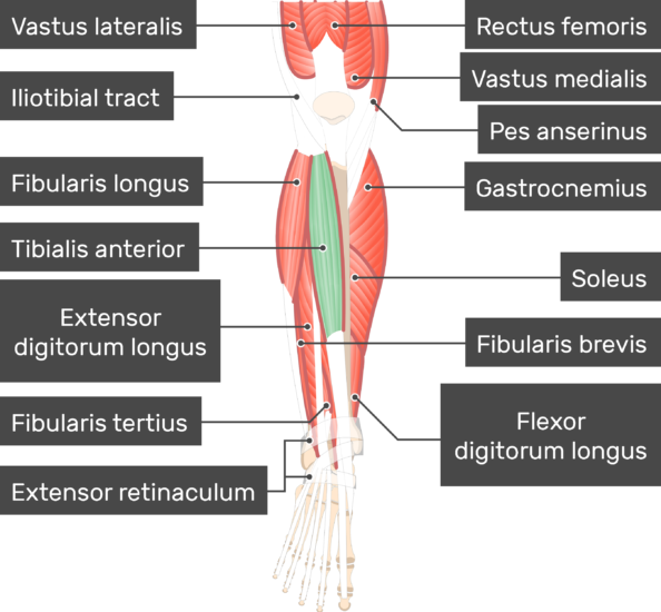 Tibialis Anterior Muscle attached to the lower limb with other muscles